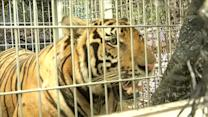 Tigers seized from Thai temple