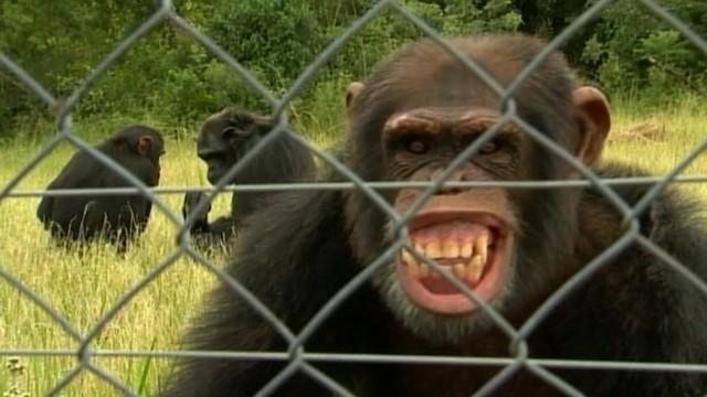 Chimps That Attacked Texas Student Were 'Hyped Up'