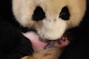 New panda mom doesn't know she has twins thanks to these sneaky zookeepers