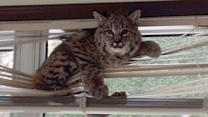 Wild Bobcat Gets Stuck In Window Blinds