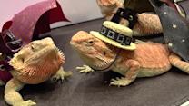 Bearded dragons model strange costumes at Thai pet show
