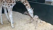 Baby Giraffe's First Time Standing