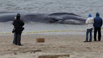 Ailing whale washes ashore at New York City beach