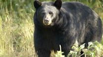 Bear Attacks on the Rise