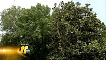 Homeowners fume over tree pruning
