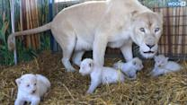 4 White Lion Cubs Born At German Circus