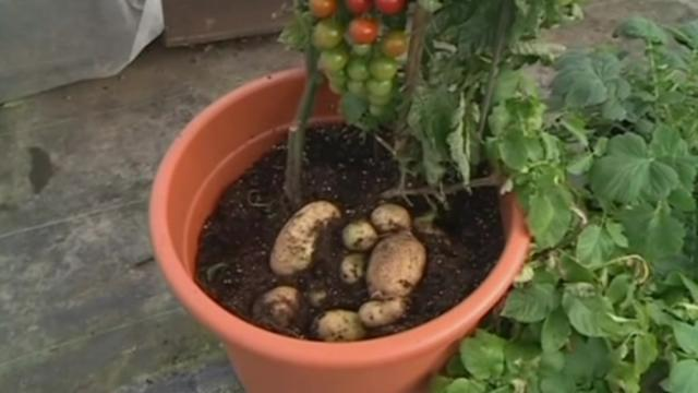 TomTato plant produces both tomatoes and potatoes
