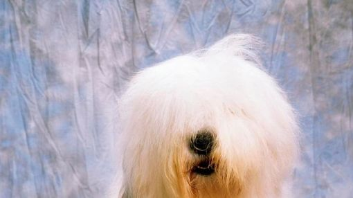 13 Of The Dumbest Dog Breeds