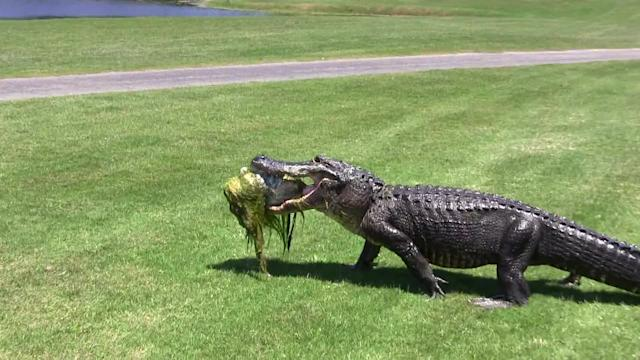 Alligator strolls across golf tee box with its catch