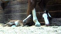 Horse gives birth to twins