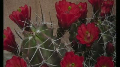 Rangers Out To Protect Cacti And Other Wildlife