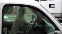 Dog Takes Over the Wheel