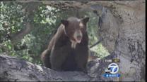 Bear caught napping in Bradbury backyard