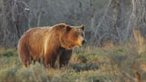 US Forest Service Officer Fatally Attacked by Grizzly Bear in Montana