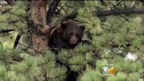 Bear Hanging Out In Tree Outside Rocky Mtn. Chocolates In Estes Park