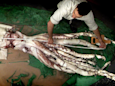 Why giant squid, the once mythical kraken of the deep, are still mystifying scientists 150 years after they were discovered