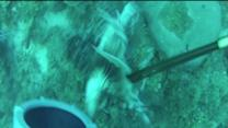 Lion fish causing problems in Gulf