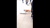 Skateboarding Dog Shows Off His Moves