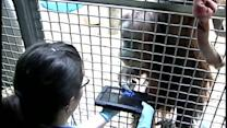 Zoo orangutans use iPads for learning