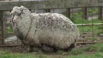 """""""Shaun"""" the sheep could be the world's woolliest"""