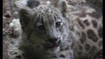 Two rare Snow Leopard cubs at New York's Bronx Zoo