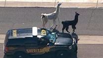 Llamas grab attention of pro sports teams