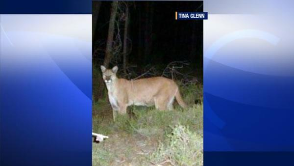Mountain lion spotted for 2nd time in Lafayette backyard
