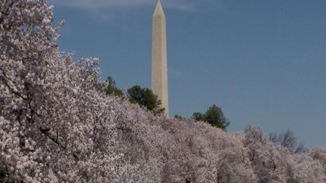 Complicated Roots: The Story Behind Washington's Iconic Cherry Blossom Trees
