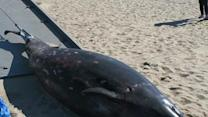 Scientists in Calif. Examine Rare Beaked Whale