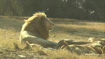 Wildlife Parkgoers Defy Rules After Lion Kills American