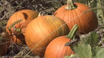Wet June creates not-so great pumpkins