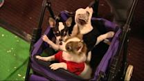 2013 Westminster Dog Show Hits Manhattan
