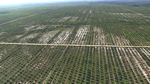 Environmental hangover from Indonesia palm oil thirst