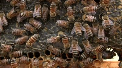 Battle Over Beekeeping in Los Angeles