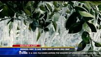 Growers fight to save their crops during cold snap
