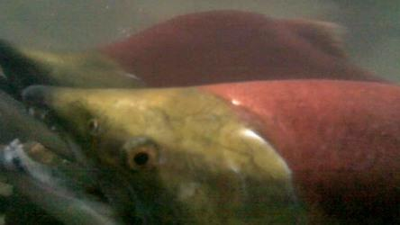 Low risk to salmon from hydro projects