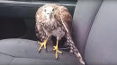 'Harvey The Hurricane Hawk' Hunkers Down With Cabbie During Storm
