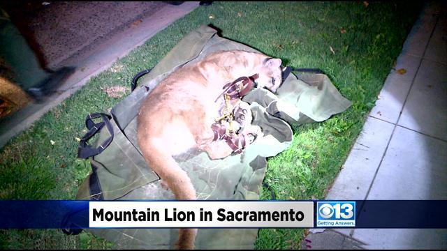 Mountain Lion Captured In East Sacramento Released Back Into Wild