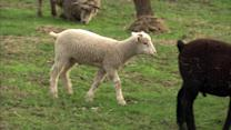 Wandering sheep lead to strife in suburbs