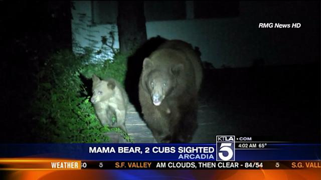 Mama Bear, 2 Cubs Spotted in Arcadia