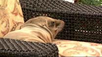 Sea lion pup relaxes in hotel patio chair